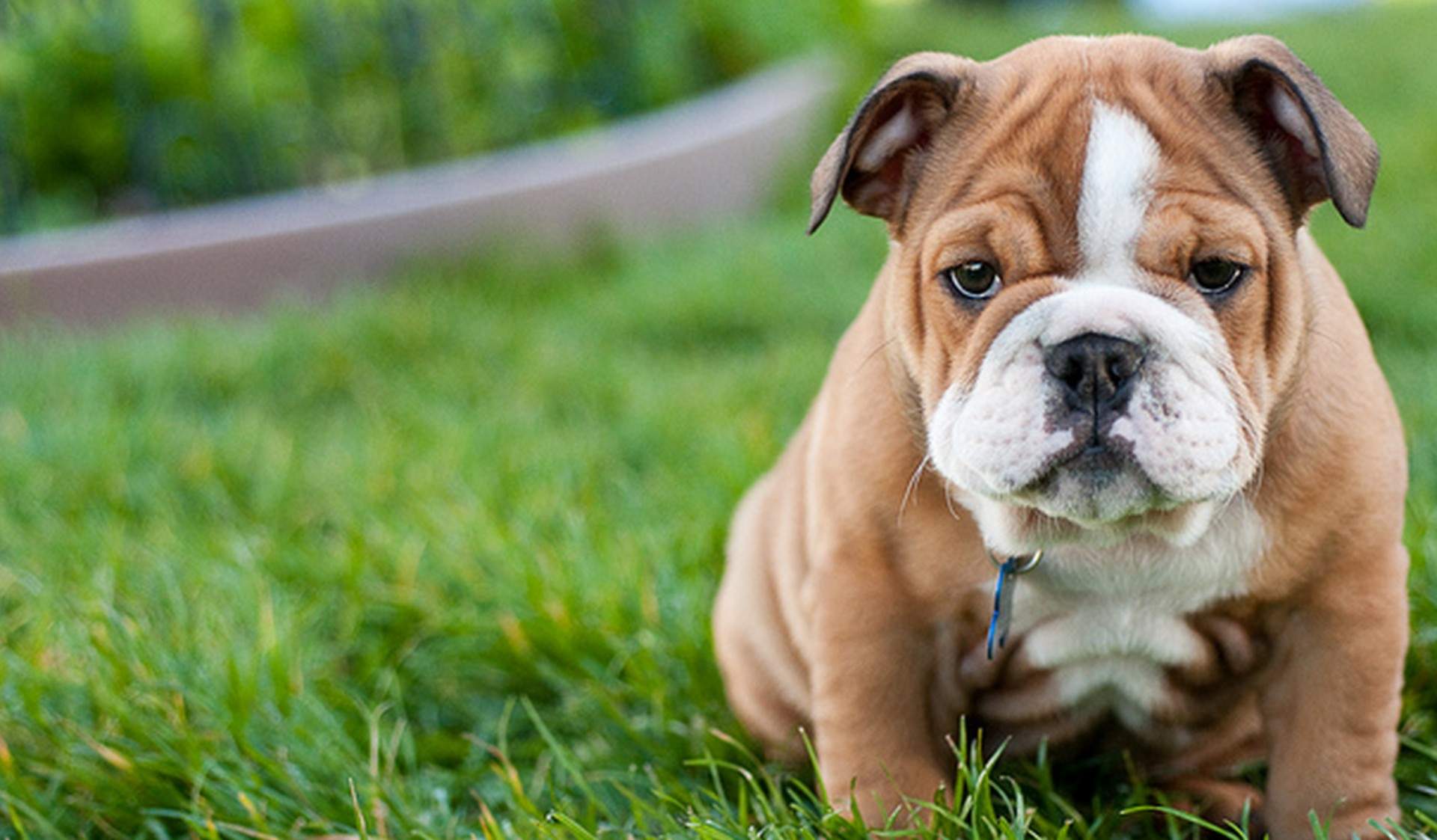 Top 10 Small Dog Breeds Under Pounds
